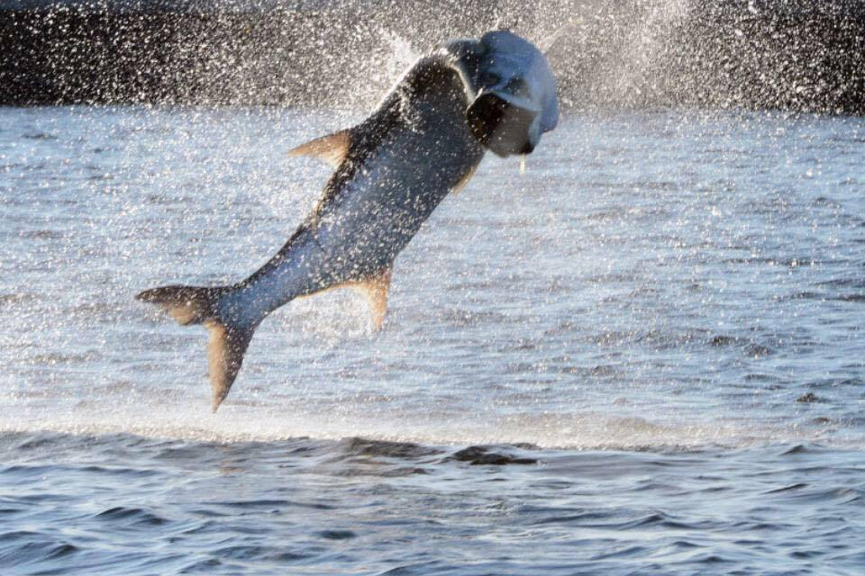 Giant tarpon jumping in Boca Grande
